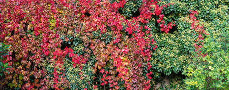 Wall covered with plants with beautiful autumn colors