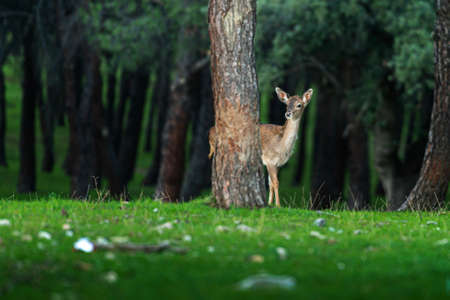 young fallow deer in a pine forest