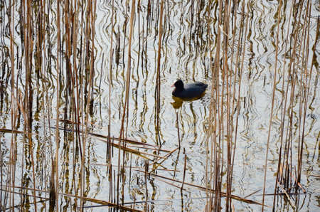Moorhen, reeds and reflections in the water of a lake Stockfoto