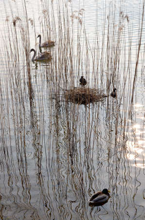 Young swans, moorhens, reeds and reflections in the water of a lake