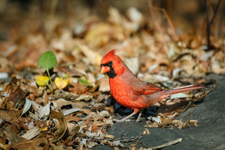 redbird: Northern cardinal standing on the ground among fall leaves  Alert male redbird exploring autumn foliage