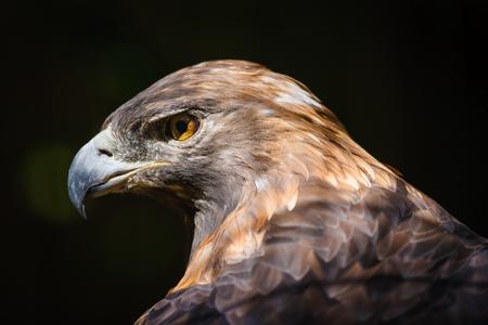 chrysaetos: Golden Eagle  aquila chrysaetos , beautiful bird of prey Stock Photo