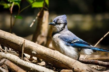 passerine: Bella blue jay tra rami e rami in Central Park, New York Foto di un blu jay uccello passeriforme - cyanocitta cristata Archivio Fotografico