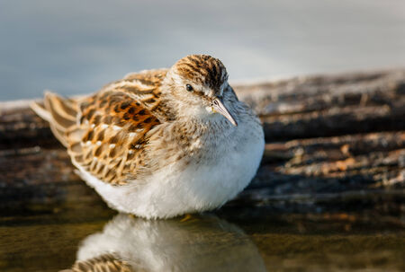 Shorebird in Jamaica Bay  Fluffy sandpiper  scolopacidae  and its breast feathers reflection in the water  Cute bird huddled against a log  Jamaica Bay Wildlife Refuge, Queens, New York  photo
