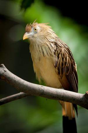 birdwatching: Guira Cuckoo  guira guira  resting quietly on a branch  Birdwatching photography  Stock Photo