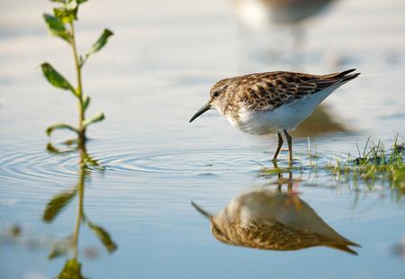 shorebird: Sandpiper scolopacidae, shorebird making ripples in water at the edge of Jamaica Bay, Queens, New York City