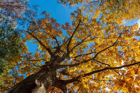 Looking up through Fall foliage of single oak tree in Central Park, New York City. A clear blue sky contrasts with the yellow orange leaves.