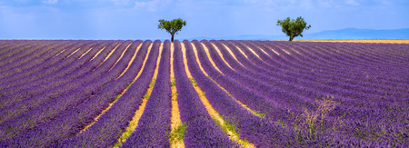 alpes: Horizontal panoramic of a lavender field with olive trees in Valensole on Summer afternoon. Southern Alps (Alpes de Haute Provence), South of France.