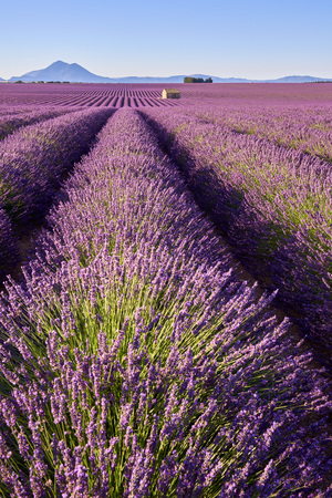 Lavender fields of Valensole with stone house in Summer. Alpes de Haute Provence, PACA Region, France Archivio Fotografico - 105534155