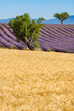 Wheat and lavender fields with trees in Valensole in summer. Alpes de Hautes Provence, PACA Region, Southern French Alps, France Stock Photo