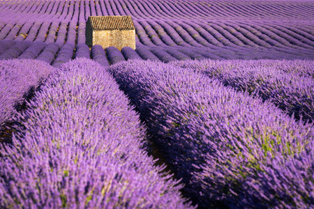 Lavender fields in Valensole at sunset with stone house in Summer. Alpes de Haute Provence, France