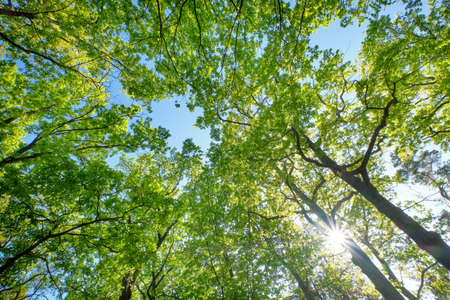 Look up into a beautiful green leaf canopy of high deciduous trees with lush foliage against clear blue sky with the sun. Seen in Germany in May.