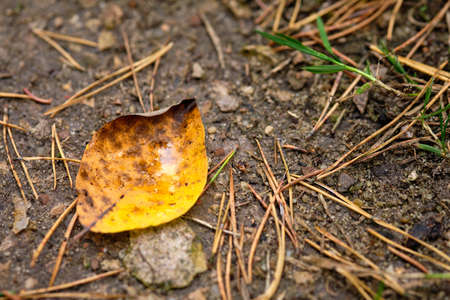 An yellow autumn leaf with water in it is lying on the muddy brown ground together with some needles of conifer trees