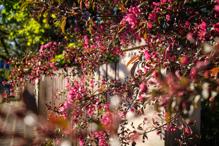 Happy, beautiful and positive spring time in the city: Beautifully blooming twigs of trees are haning over a high wooden fence on the sidewalk in the evening light. Seen in Nuremberg. 免版税图像