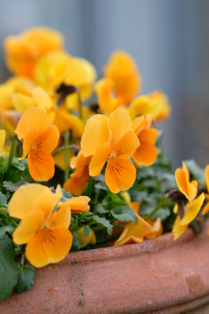 Springtime flowers: A flower pot made of clay with beautiful orange pansies blooming in a garden in Nuremberg, Germany, in March Banque d'images