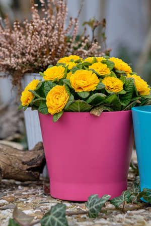 Springtime in the city: Some beautiful flowers in colorful flower pots blooming in a garden in Germany Banque d'images