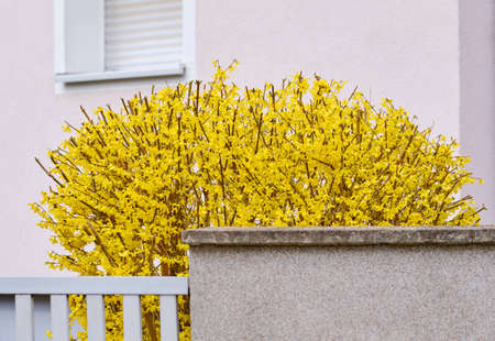 Springtime flowers: A fresh cut bright yellow forsythia blooming in a garden in Nuremberg, Germany