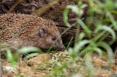 A hedgehog sitting in the garden beside a wooden beam behind some plants. Seen in Germany in July.