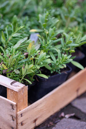 A box of fresh green plants in flowerpots from the gardener is waiting to be put into the earth in the garden in spring