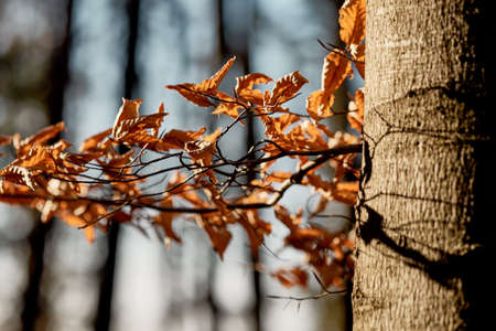 Last years autumn leaves of a beech tree still hanging at a twig - no in the sunlight of the new spring in Franconia / Bavaria, Germany Banque d'images