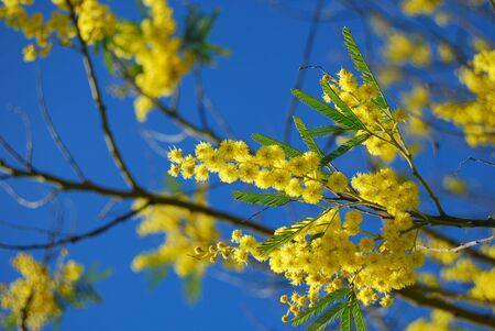 mimosa branch with blue sky photo