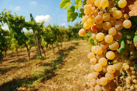 A bunch of grapes an organic vineyard in the countryside of the  Roman Castles photo