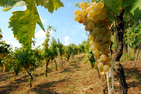 A bunch of grapes an organic vineyard in the countryside of the