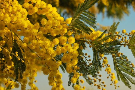 mimosa: A sprig of mimosa flower Stock Photo