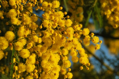 A sprig of mimosa flower photo