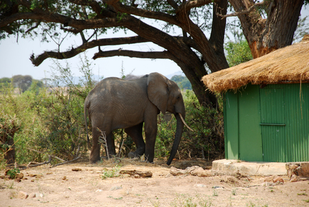 herbivore natural: An elephant between the bungalows in the savannah-Tanzania-Africa