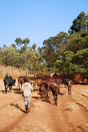 working cowboy: African herders bring small herds of cows grazing-Tanzania-Africa Stock Photo