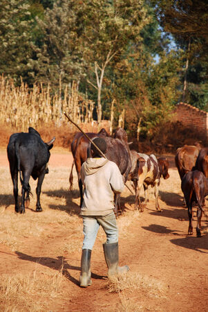 African herders bring small herds of cows grazing-Tanzania-Africa Foto de archivo