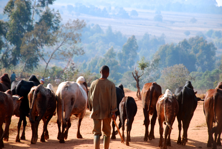 herdsman: African herders bring small herds of cows grazing-Tanzania-Africa Stock Photo