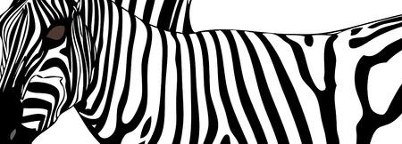 Zebra (close up) - Illustration depicting a zebra in Tanzania