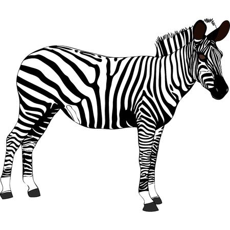 zebra: Zebra - Illustration depicting a zebra in Tanzania