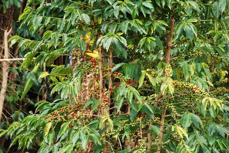 coffea: The coffee plant - Tanzania -  - A coffee plant on the mountain in Tanzania Kilolo