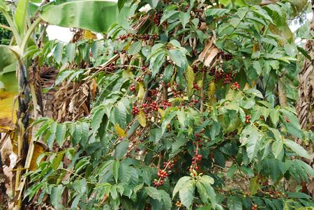 planta de cafe: La planta del café - Tanzania - - Una planta de café en la montaña en Tanzania Kilolo
