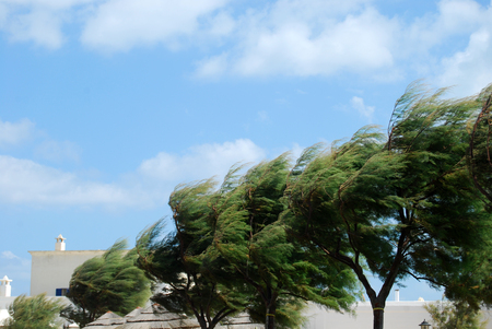 marine environment: Trees whipped by the mistral wind on the coast of Apulia - Italy