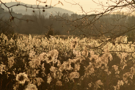 bogs: A dense reed illuminated by the sunset in the bogs of Lake Iseo - Brescia - Lombardy - Italy