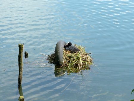 nesting: A nest of ducklings on Adda River - Lombardy - Italy