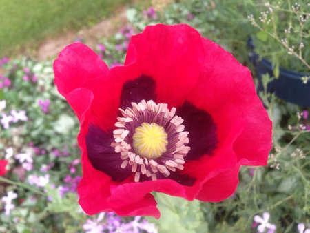 Poppy in full bloom Stock Photo