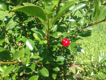Small cherry tree Banco de Imagens