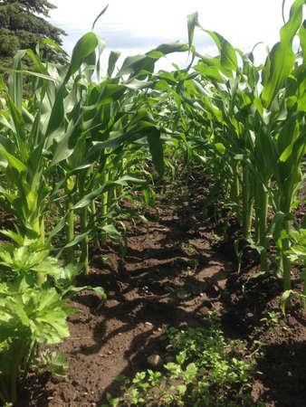 Corn coming up in the garden.  Banco de Imagens