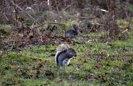 Two grey squirrels eating photo