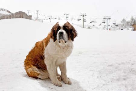 st bernard: ST. Bernard dog in a ski resort