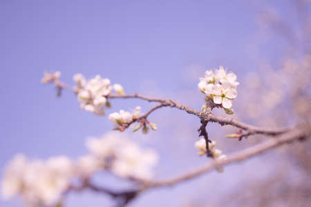 Spring flowers of fruitful trees, beautiful photos with light airy flowers, full-bodied photos of flowers