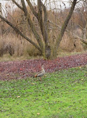 watchman: vigilant duck Stock Photo