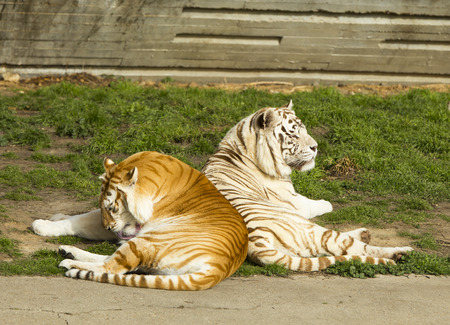 tigresa: el tigre y la tigresa