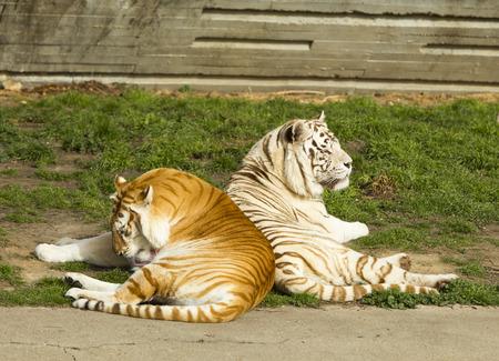tigress: the tiger and tigress