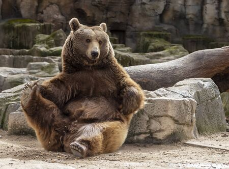 brown bear doing stretching with a paw Archivio Fotografico